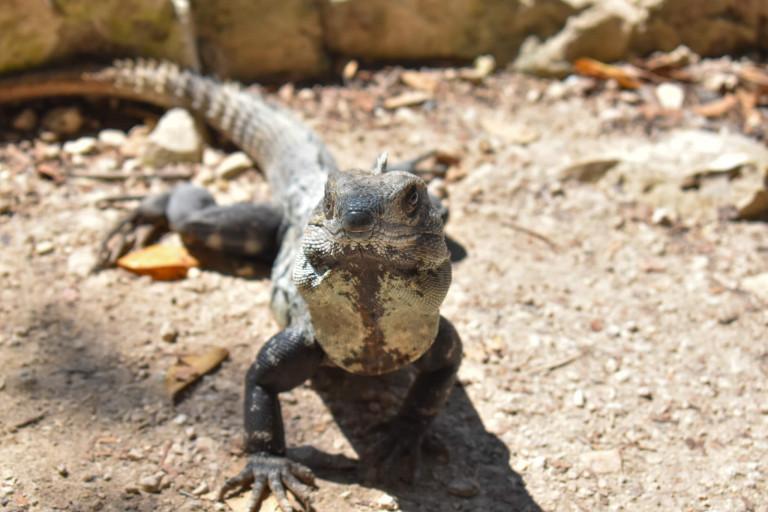 Ein Leguan in Mexiko.